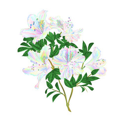 Colored flowers rhododendron twig with leaves vector