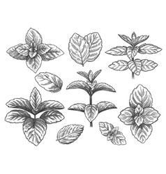 engraved mint leaves sketch peppermint herb vector image