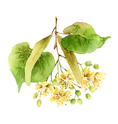 Linden flowers isolated on white background vector