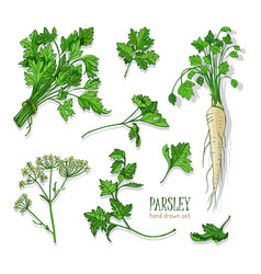 parsley set hand drawn colorful collection with vector image