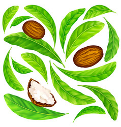 shea nuts with leaves in pattern vector image
