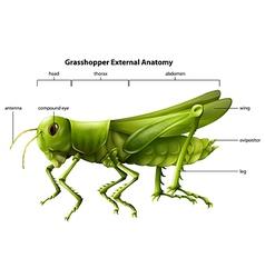 anatomy grasshopper vector image