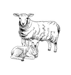 hand drawn sheep and lamb vector image