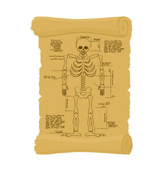 Ancient scroll of skeleton archaic papyrus of vector