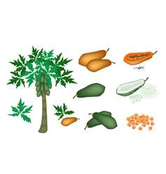 A Set of Fresh Papayas and Papaya Tree vector image