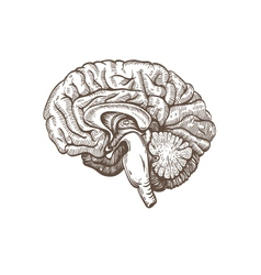 Brain isolated on a white backgrounds vector