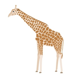 Giraffe on white background vector image