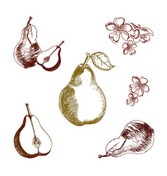 vintage ink hand drawn pear isolated on white vector image