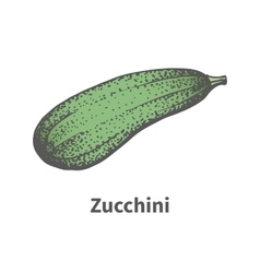 Hand-drawn green mature big zucchini vector