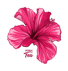 Hawaiian hibiscus fragrance flower or mallow pink vector