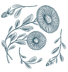 herb medicinal chamomile or daisy wheel with vector image