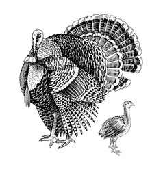 hand drawn turkey and poult vector image