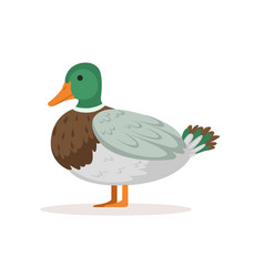 Domestic duck poultry breeding vector