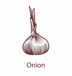 onion isolated on white background detailed vector image