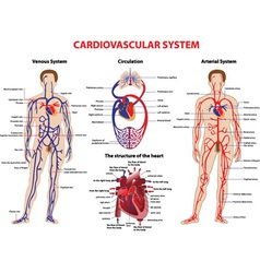 Cardiovascular system vector image