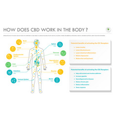 How does cbd work in body horizontal business vector