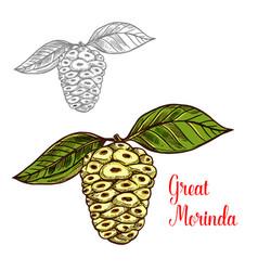 Great morinda or mulberry tropical fruit sketch vector