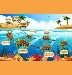 Life cycle of the sea turtle vector