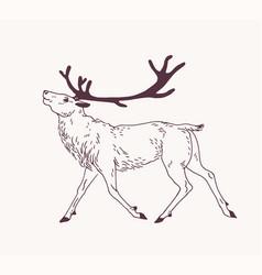 Outline drawing walking male deer reindeer vector