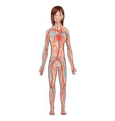 Circulatory system woman vector