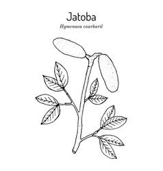 Jatoba hymenaea courbaril or west indian locust vector