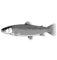atlantic salmon fish black and white vector image