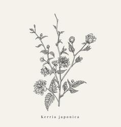 kerria japonica botanical vector image