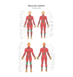Human muscles Female and male vector