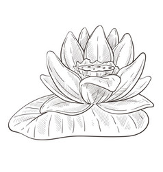 Flower sketch lotus blossom and leaf isolated vector