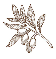 Greek olives plant branch with leaves isolated vector