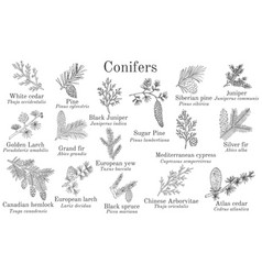 set different conifiers branches with cones vector image