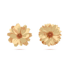 chrysanthemum flowers floral vector image
