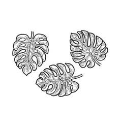Monstera plant leaves sketch vector