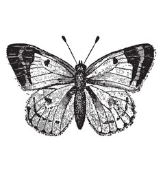 Colias hyale butterfly vintage vector