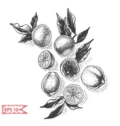 Sketch background fruit citrus vector