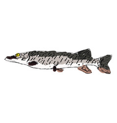Amur pike on white background vector