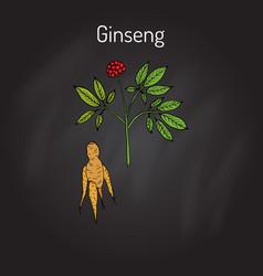 ginseng - medicinal plant vector image
