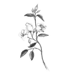 Sketched pencil or rose branch vector