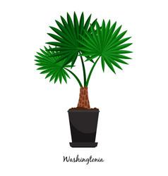 washingtonia plant in pot vector image