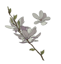 magnolia drawing vector image