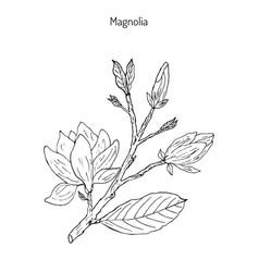 blossom brunch of magnolia vector image