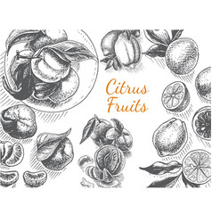 sketch background fruit citrus vector image