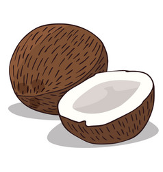 Isolate ripe coconut fruit vector