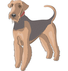 Airedale dog with a red collar vector
