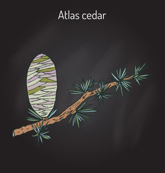 Branch a atlas cedar cedrus atlantica vector