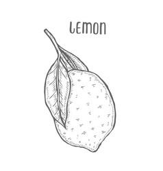 lemon set hand drawn vector image
