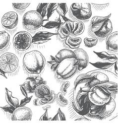 Sketch background fruit citrus - bergamot vector
