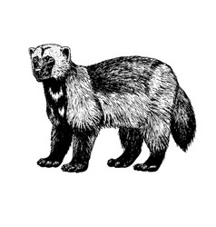 hand drawn wolverine sketch vector image