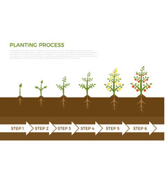 infographic plant growth stages tree vector image