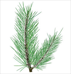 Pine branch on white background vector image vector image